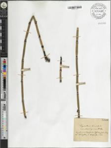 Equisetum hiemale L. var. [?] [?]