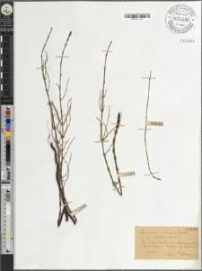 Equisetum ×litorale Kuehl. fo. elatior Milde