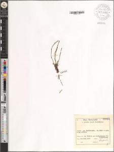 Equisetum sp.