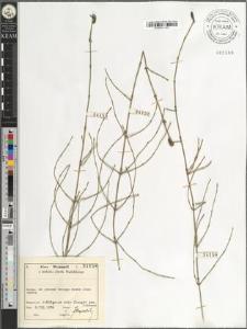 Equisetum ramossisimum