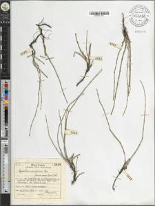 Equisetum variegatum Schl. fo. caespitosa Doell.