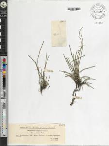 Equisetum variegatum Schleich. fo. caespitosum Doell.