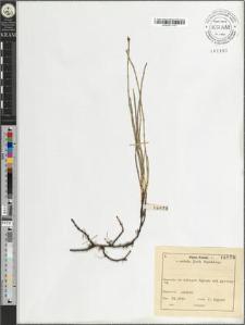 Equisetum variegatum Schleich.