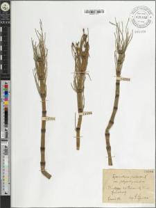 Equisetum palustre L. var. polystachyum Milde