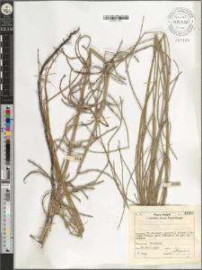 Equisetum ramossisimum Desf.