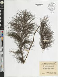 Equisetum silvaticum L. var. capillare Hoffm. (Pr. spec)