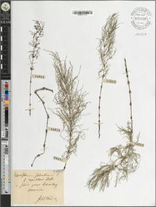 Equisetum silvaticum L. fo. capillaris Hoffm.