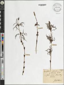 Equisetum silvaticum L. fo. [?] Milde