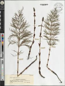 Equisetum silvaticum L.