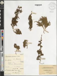 Lycopodium alpinum L.