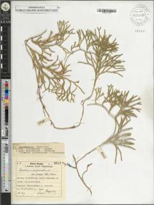 Lycopodium complanatum L. subsp. anceps (Wallr.) Aschers.