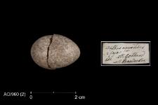 Anthus spinoletta