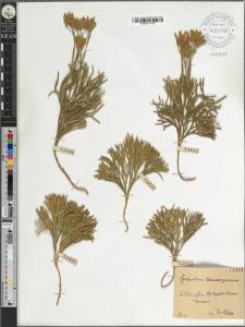 Lycopodium chamaecyparissus