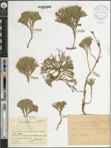 Lycopodium complanatum L. var. Chamaecyparissius A. Br.