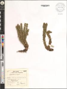 Lycopodium Selago L.