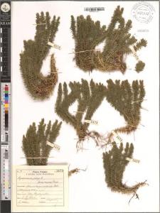 Lycopodium selago L. fo. recurva Desv.