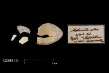 Motacilla alba