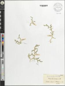 Selaginella helvetica Lk.