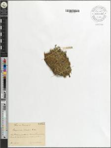 Selaginella helvetica A. Br.
