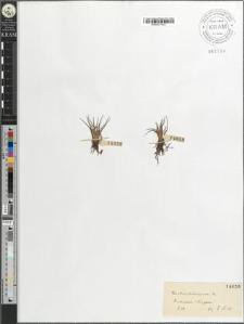 Isoëtes echinospora Dur.