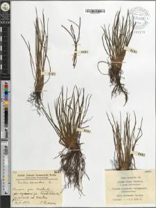 Isoëtes lacustris L.