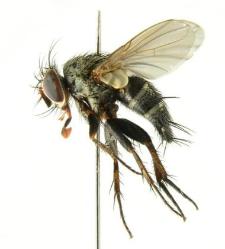 Peribaea tibialis (Robineau-Desvoidy, 1851)