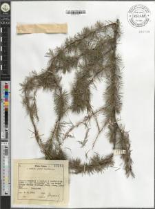 Larix decidua Mill. subsp. decidua