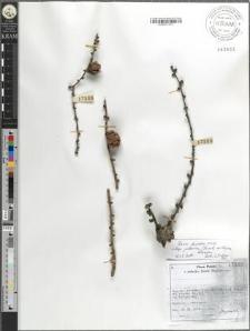 Larix decidua Mill. subsp. polonica (Racib. ex Woycicki) Domin
