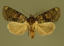 Cryphia algae (Fabricius, 1775)