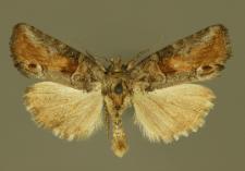 Cryphia fraudatricula (Hübner, 1803)