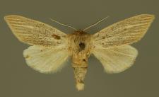 Simyra nervosa (Denis & Schiffermüller, 1775)