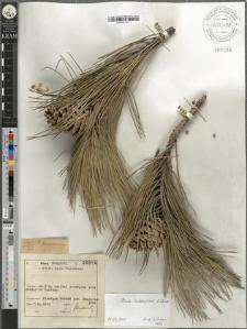 Pinus leucodermis