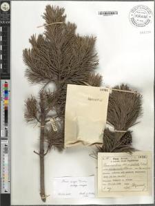 Pinus montana Mill. subsp. prostrata Tubeuf. pseudopumilio Wilkomm.