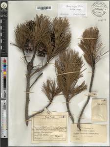 Pinus mugo Turra subsp. mugo