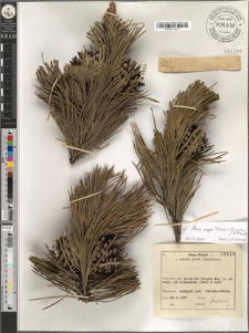 Pinus cf. mugo Turra × nigra J. F. Arnold