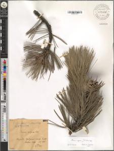 Pinus nigra Arn.