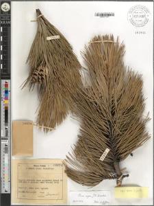 Pinus nigra J. F. Arnold