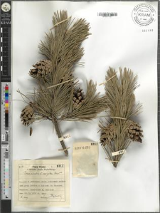 Pinus silvestris L. var. gibba Christ.
