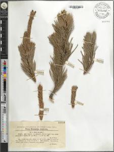 Pinus silvestris L.