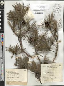 Pinus silvestris L. var. genuina Heer