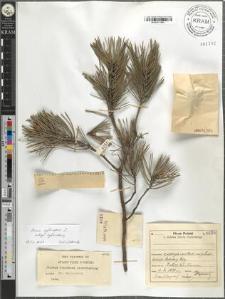 Pinus sylvestris L. subsp. sylvestris
