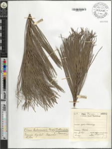 Pinus tuberculata Gord.