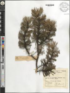 Pinus uliginosa