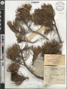 Pinus mugo Turra subsp. rotundata