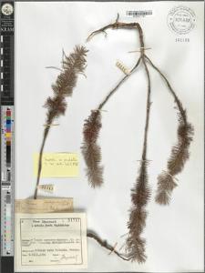 Pinus halepensis ?