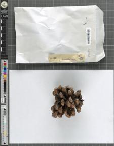 Pinus pinea?