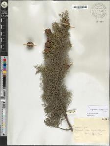 Cupressus sempervirens Linn.