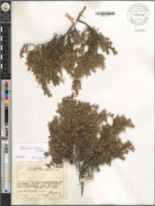Juniperus niemanii E. Wolf