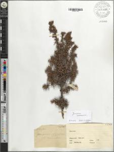 Juniperus oxycedrus var. communis