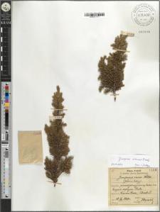 Juniperus nana Willd.